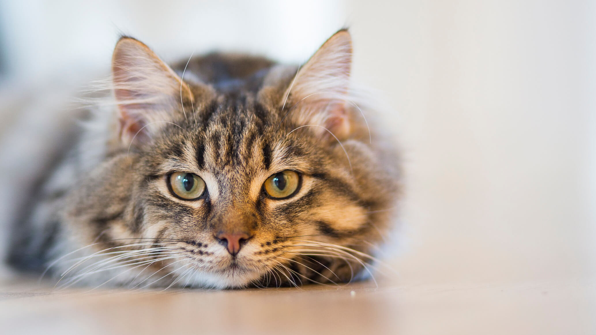 4 Types of Cat Cancer and Their Common Symptoms | Rau Animal